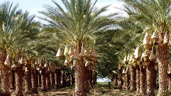 شجرة جوز الهند في السعودية